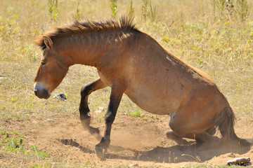 cheval de przewalski 3