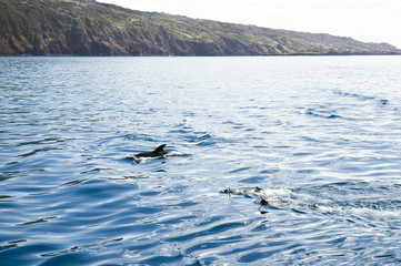 Boys swimming with the dolphins in Pico island, Azores