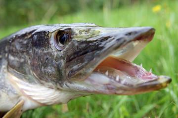 Fischmaul