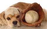 American cocker spaniel resting after game of baseball poster