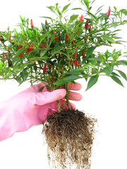 Gloved Hand holding Chilli Plant