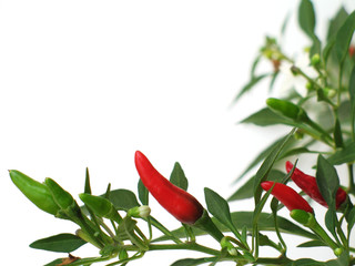 Chilli border with white background