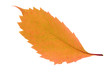 Brown autumn leaf isolated on a white
