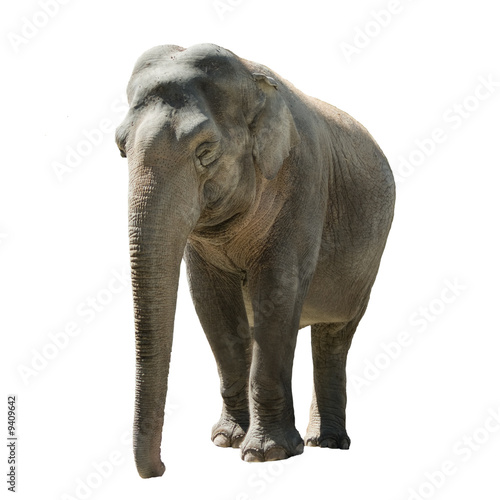 Indian Elephant Front View