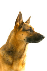 Portrait of German shepherd isolated on white