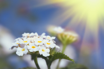 White Lantana flowers on sunny sky background