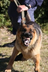 Angry police dog baring it's teeth and being restrained