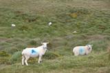 mountain sheep grazing on a hillside in county Kerry Ireland
