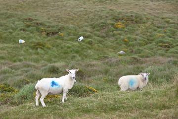 mountain sheep grazing on a hillside in county Kerry Ireland