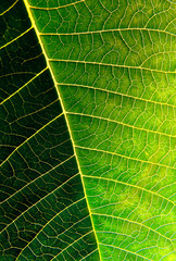 Macro photo of a green leaf with sunlight from behind.