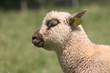 portrait d'un agneau