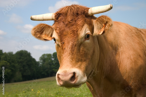 portrait d'une vache limousine