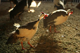 Poultry farming. Guinea fowl. poster