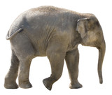 Isolated young african elephant on white background. - Fine Art prints