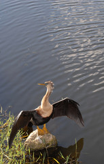 An anhinga bird stands on a rock with wings spread