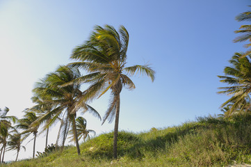 Detail of coconut palm trees on tropical cuban beach