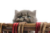 Portrait of sweet persian little cat looking up - isolated poster