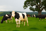 Dairy cows in a lush green field poster