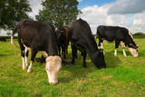 Small group of Friesian dairy cows grazing in a field poster
