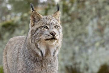 Head shot ofd a Canadian Lynx. Northern Minnesota