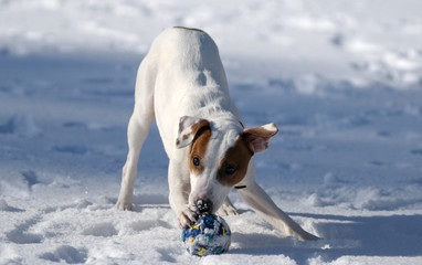 Jack Russel terrier play with ball