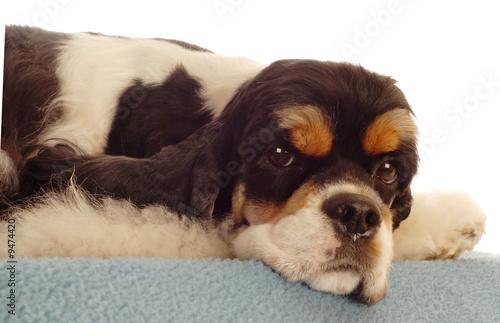 poster of american cocker spaniel dog sleeping