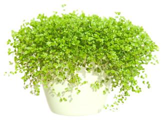 nertera (coral bead plant)