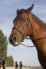portrait of a bay horse after training on a jumping arena