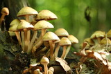 Group of beautiful but poisonous mushroom in a forest poster