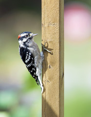 Downy Woodpecker on a deck rail