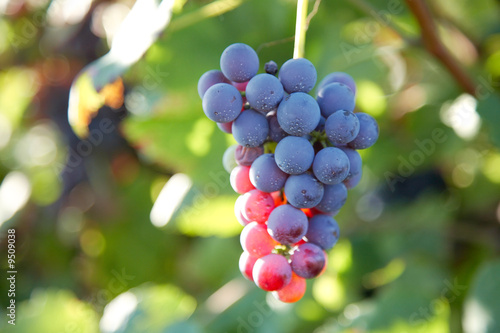 Close view of red grapes (Nebbiolo grape varieties)