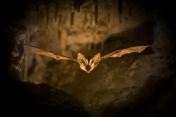 Fledermaus im Flug