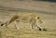 A lithe Young Lioness hunts across the plains