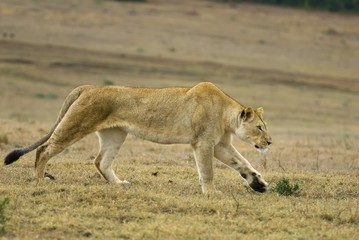 A lithe Young Lioness hunts across the plains
