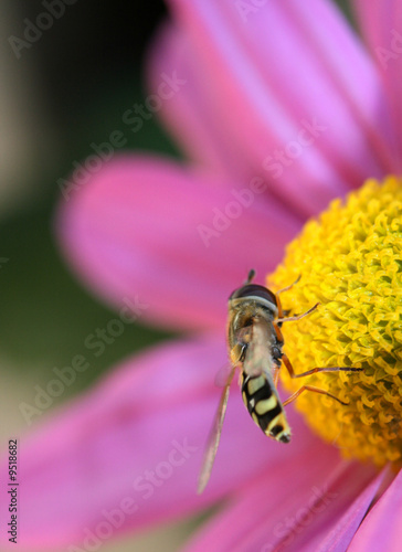hoverfly on flower 05