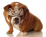 english bulldog wearing princess crown and silly expression..