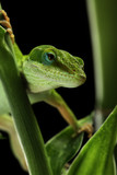 Anole lizard crawling through a plant at night poster