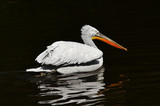 Dalmatian pelican on the water poster
