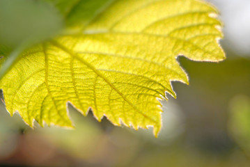 green leaves of  grapes, close up