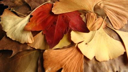 dried leaves of ginkgo biloba