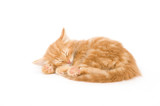 A yellow kitten lays down for a cat nap on a white background