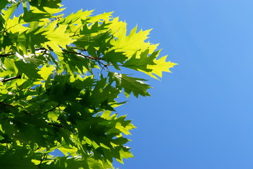 Close-up of fresh green leaves in springtime...........