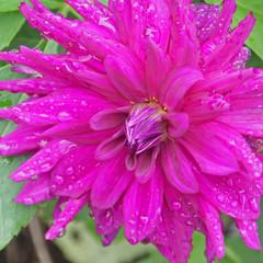 fleur mauve de dahlia