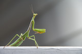 The wild carnivorous insect known as the Praying Mantis.