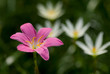 Zephyranthes grandiflora or pink rain lilly