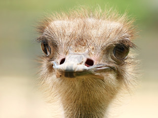 Close-up portrait of curious ostrich