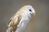 Close up of Barn Owl (Tyto alba) poster