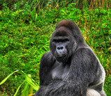 A HDR close up image of a male silverback gorilla poster