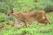 Постер, плакат: Surely the most beautiful Predator from Africa the Caracal