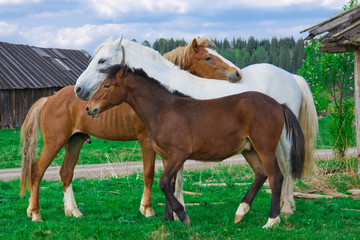 Family of horses in village in the summer